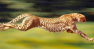 foto gepard