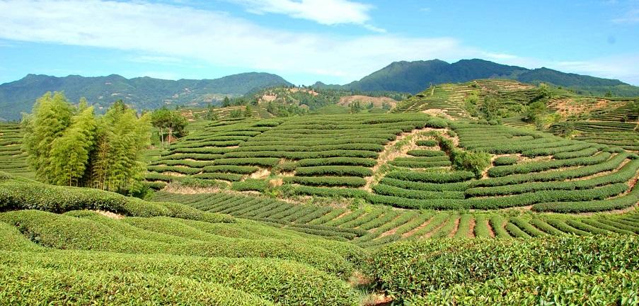 де росте чай