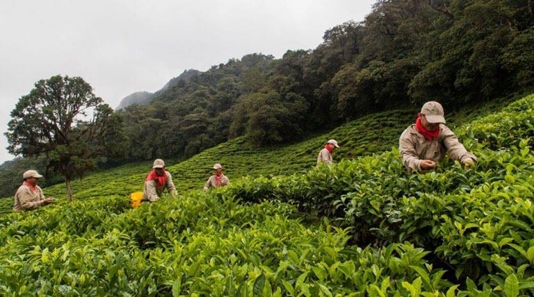 продавать и распространять чай Битако